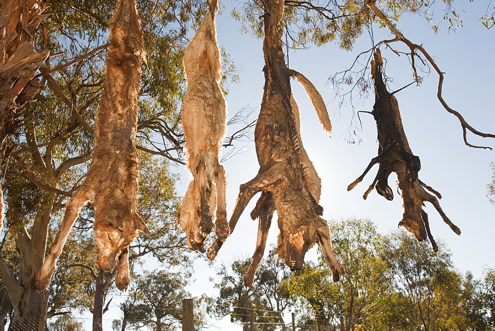 Feral dogs responsible for attacks on sheep, shot by farmer and hung up on a road-side tree near Lake Eucumbene, New South Wales, Australia, Pacific
