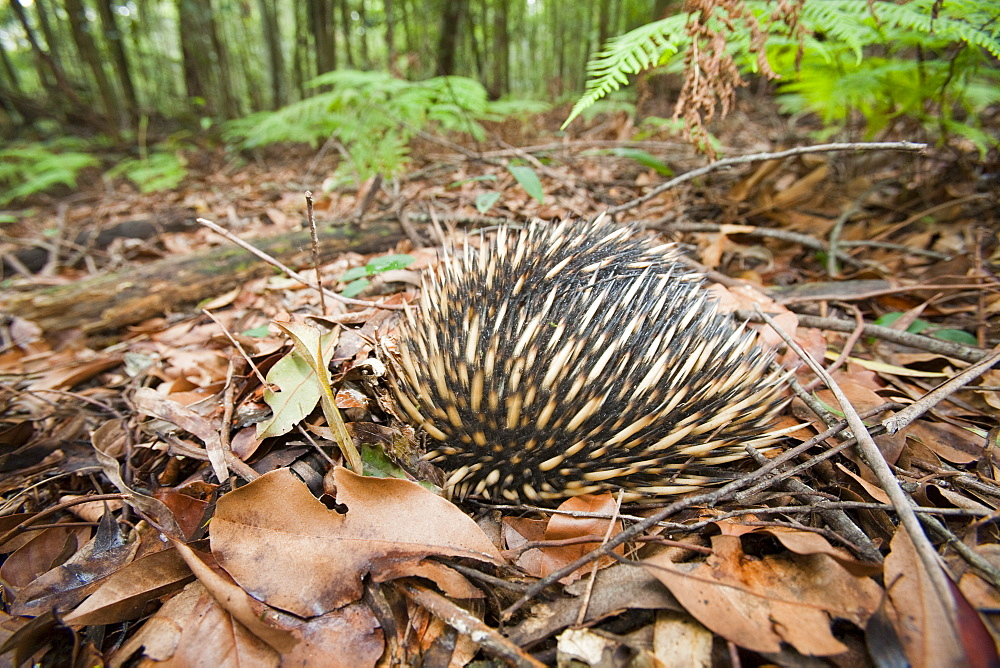 An Echidna on the forest floor of the Macquarie Pass National Park, New South Wales, Australia, Pacific