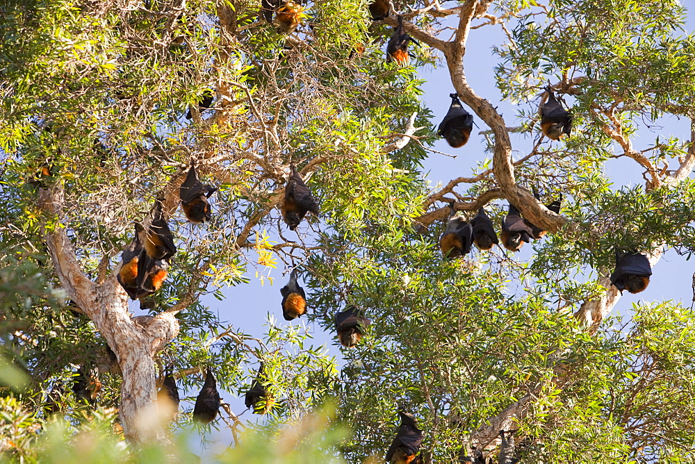 Fruit bats roosting in Sydney Botanical Garden, Sydney, New South Wales, Australia, Pacific