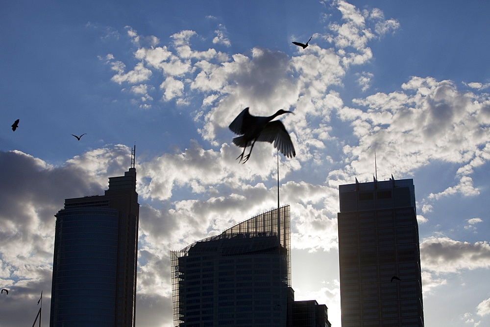 Fruit bats and an Australian white ibis flying in front of Sydney city centre tower blocks, Sydney, New South Wales, Australia, Pacific
