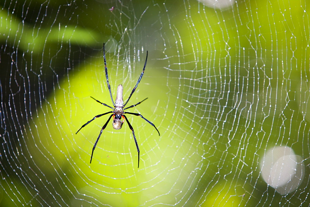 A large spider in the Daintree rainforest in Northern Queensland, Australia, Pacific - 911-6073