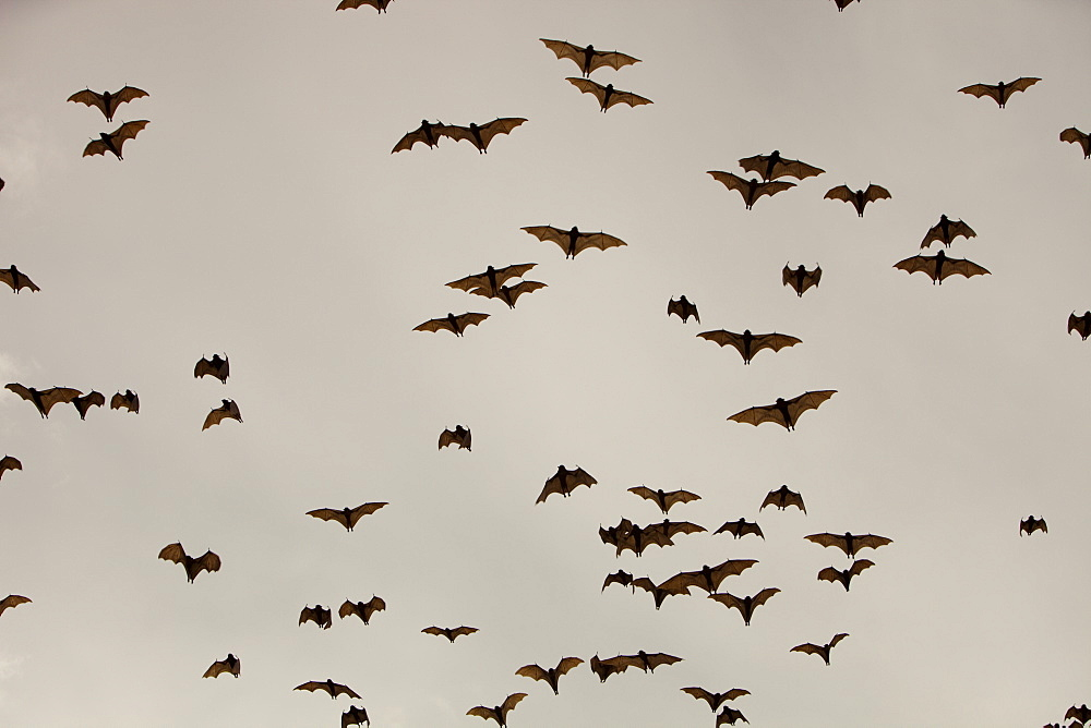 Fruit bats (flying foxes) over Cairns in Queensland, Australia, Pacific