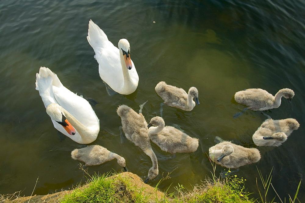 Mute swans and cygnets, Lake District, Cumbria, England, United Kingdom, Europe