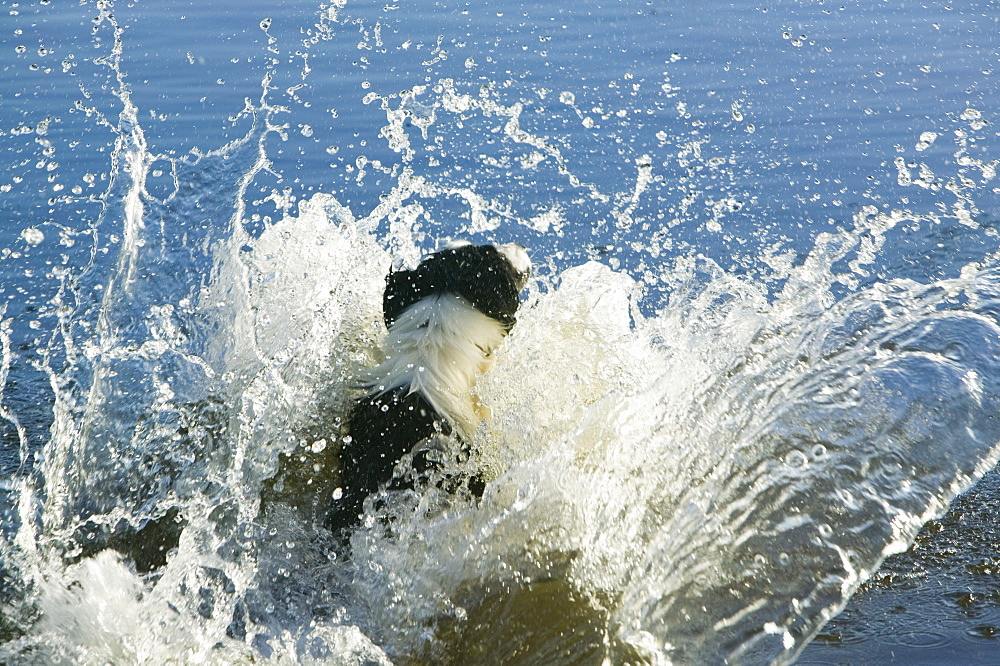 Border collie leaping into a Lakeland tarn to fetch a stick, Cumbria, England, United Kingdom, Europe