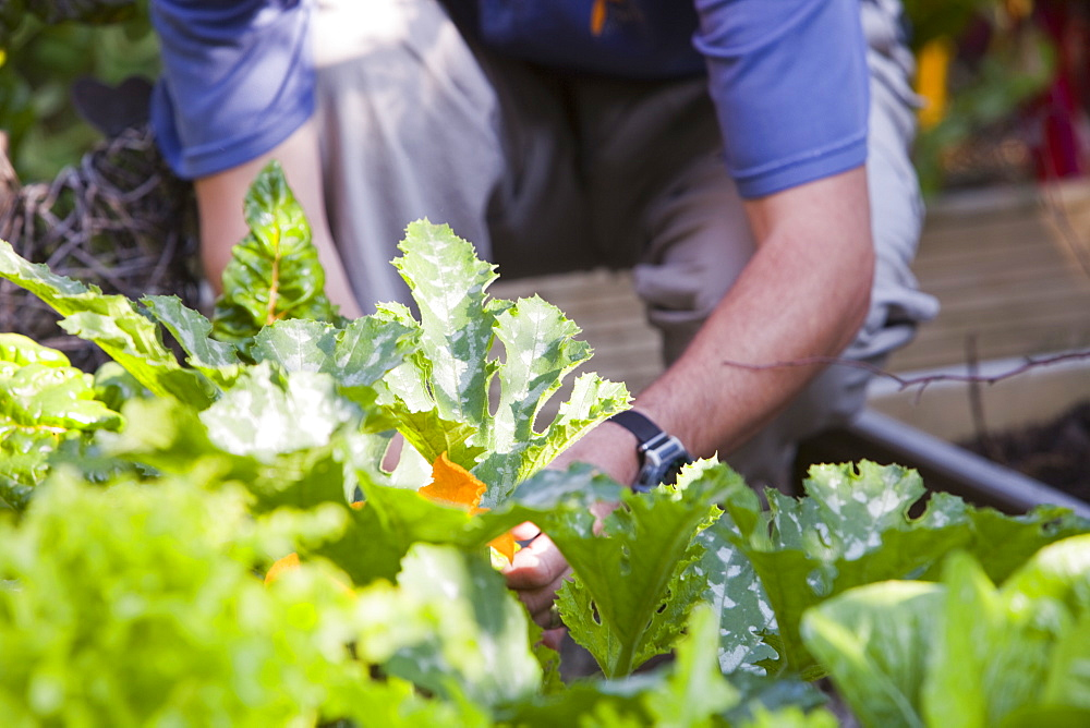 Salad and vegetables growing in a garden in Ambleside as part of a drive to be self sufficient, Cumbria, England, United Kingdom, Europe
