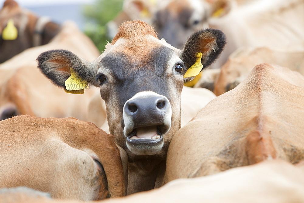 Jersey cows on a farm in the Yorkshire Dales near Bainbridge, Yorkshire, England, United Kingdom, Europe