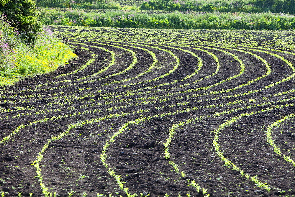 Maize crops planted in a wavy line in a field near Zennor in Cornwall, England, United Kingdom, Europe