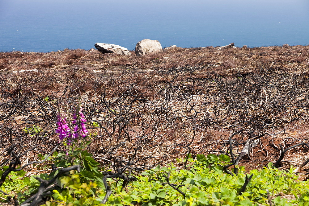 An area of burnt out gorse on the cliff tops of the Cornish coast near Rosemergy, England, United Kingdom, Europe