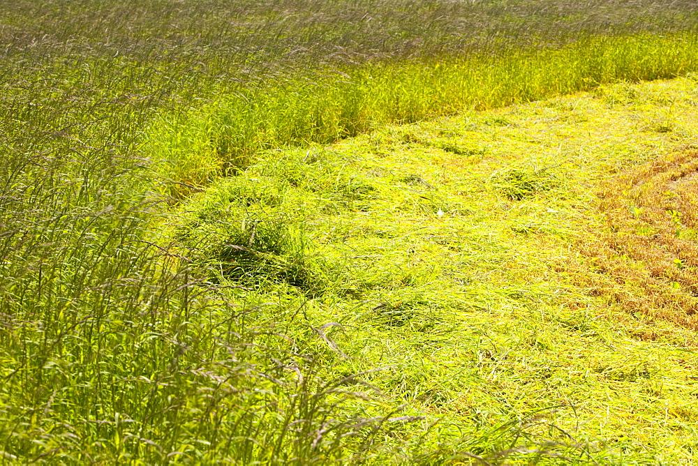 A field of mowed grass for hay near Porthcurno, Cornwall, England, United Kingdom, Europe