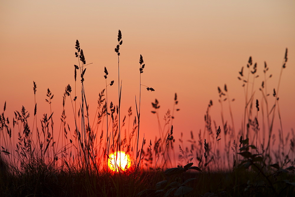 Sunset through grass seed heads, Cornwall, England, United Kingdom, Europe