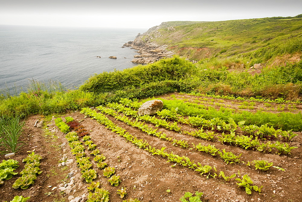 Vegetables growing on a cliff top plot tamed from the wild land near Porthcurno, Cornwall, England, United Kingdom, Europe
