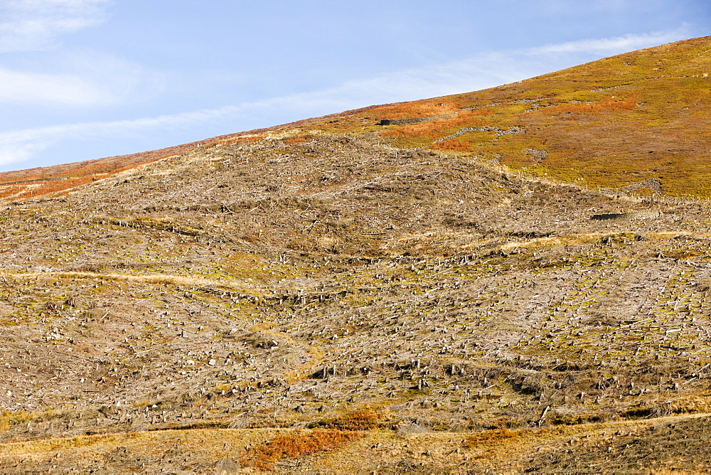 Trees felled as part of a habitat restoration project in the Dunsop Valley above Dunsop Bridge in the Trough of Bowland, Lancashire, England, United Kingdom, Europe