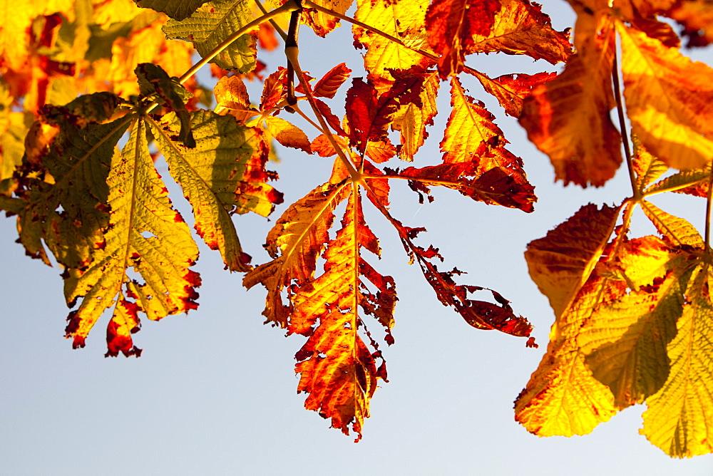 Horse chestnut leaves in Autumn, Ambleside, Cumbria, England, United Kingdom, Europe