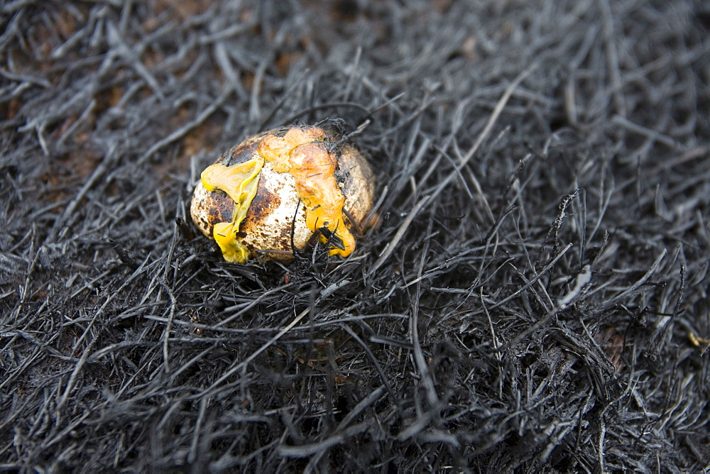 A moorland bird's egg fried by the moorland fire when tinder dry conditions were set alight by a discarded cigarette on the 25th of May, Littleborough, Lancashire, England, United Kingdom, Europe