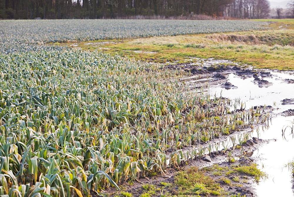 Leeks growing in a field near Ormskirk, Lancashire, England, United Kingdom, Europe