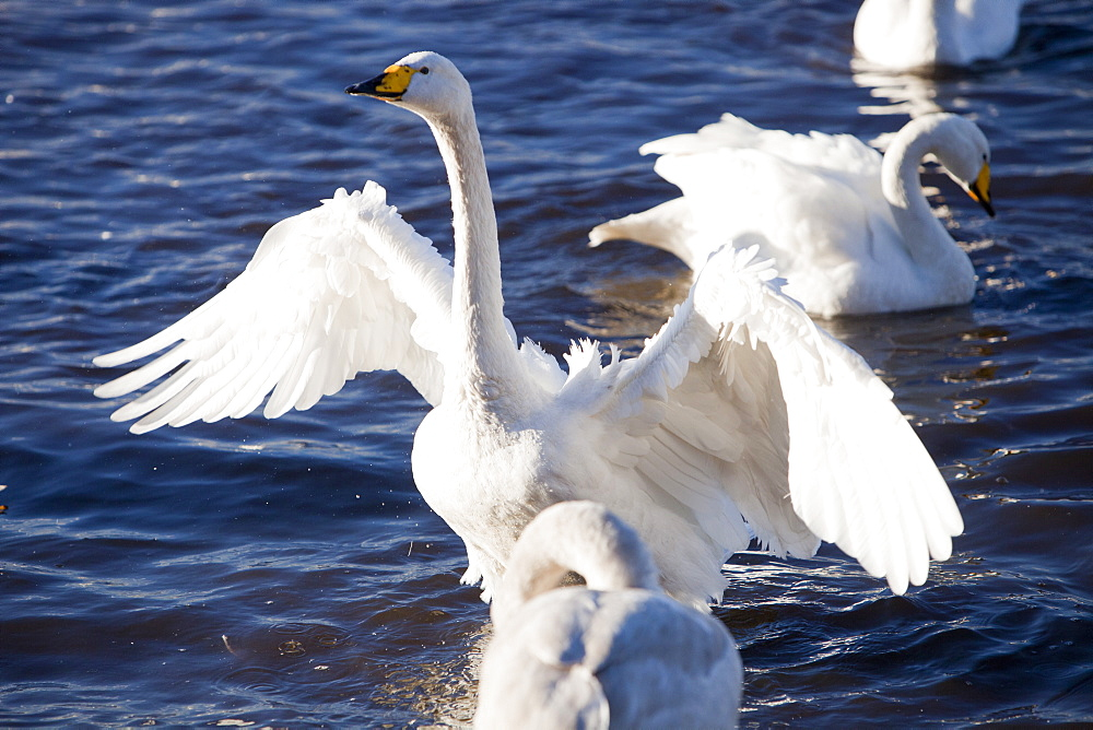 Whooper Swans fighting at Martin Mere bird reserve near Ormskirk, Lancashire, England, United Kingdom, Europe