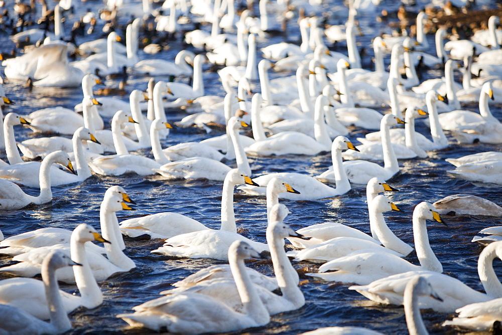 Whooper Swans at Martin Mere bird reserve near Ormskirk, Lancashire, England, United Kingdom, Europe