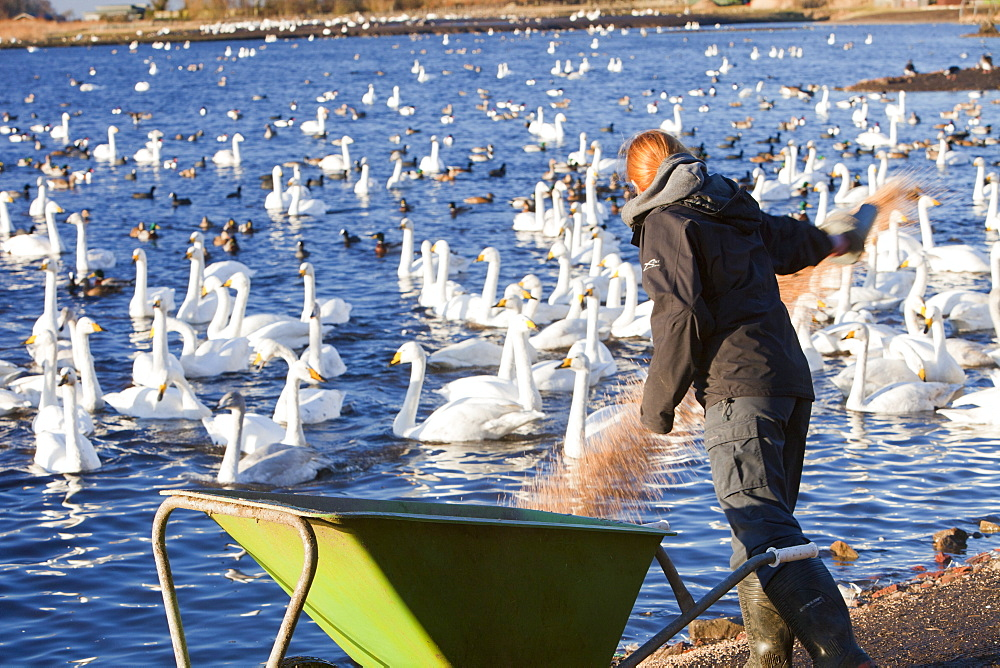 Whooper Swans being fed at Martin Mere bird reserve near Ormskirk, Lancashire, England, United Kingdom, Europe