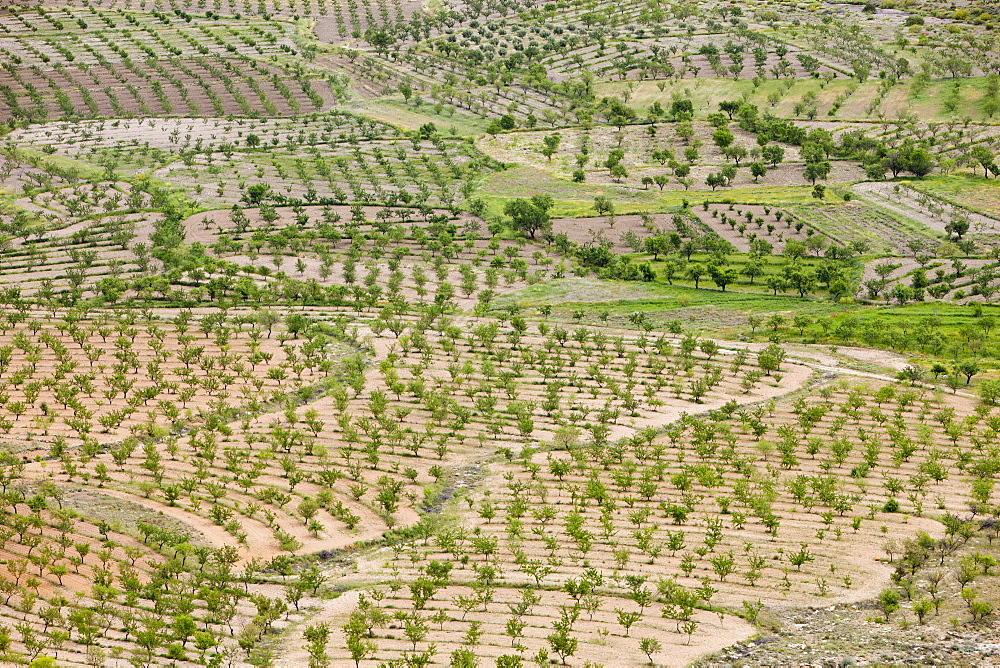 Olive trees and orchard groves on the slopes of the Sierra Nevada mountains near La Calahorra, Andalucia, Spain, Europe