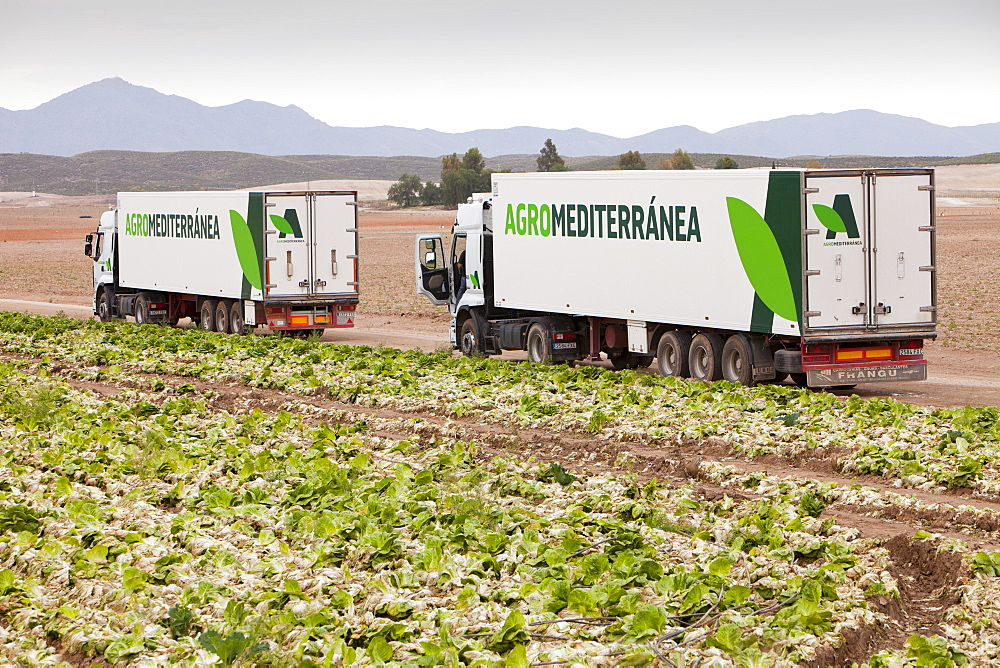 Lettuce crops being harvested in a field near Sorbas, Andalucia, Southern Spain, Europe