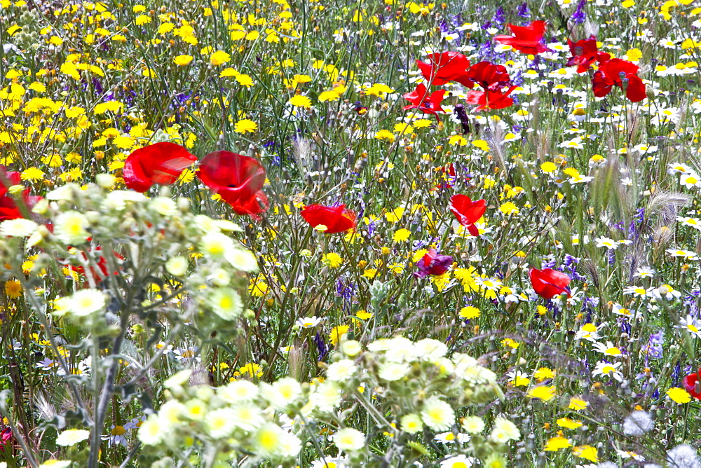 Wild flowers growing on a field verge in Andalucia, Spain, Europe