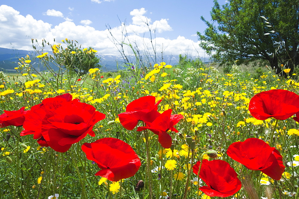 Poppies and other wild flowers growing in a field  in Andalucia, Spain, Europe