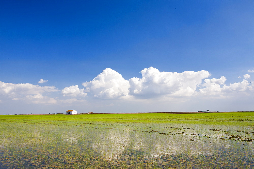 Rice growing in paddy fields in the Coto Donana, Andalucia, Spain, Europe