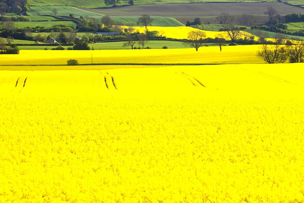 Oil seed rape growing on farmland near Scotch Corner, Yorkshire, England, United Kingdom, Europe