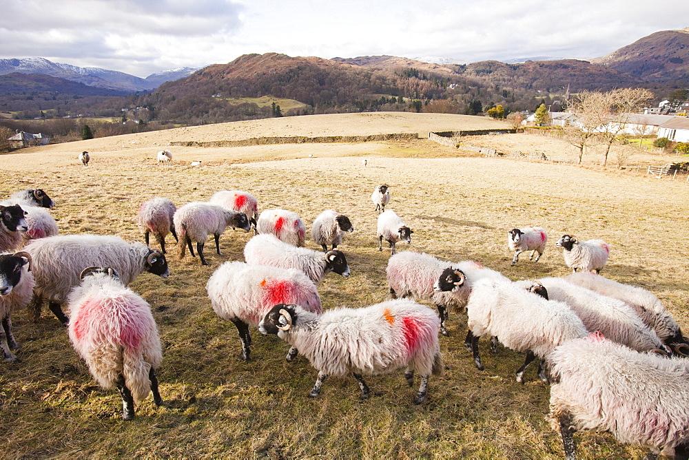 Sheep in Ambleside, Lake District, Cumbria, England, United Kingdom, Europe