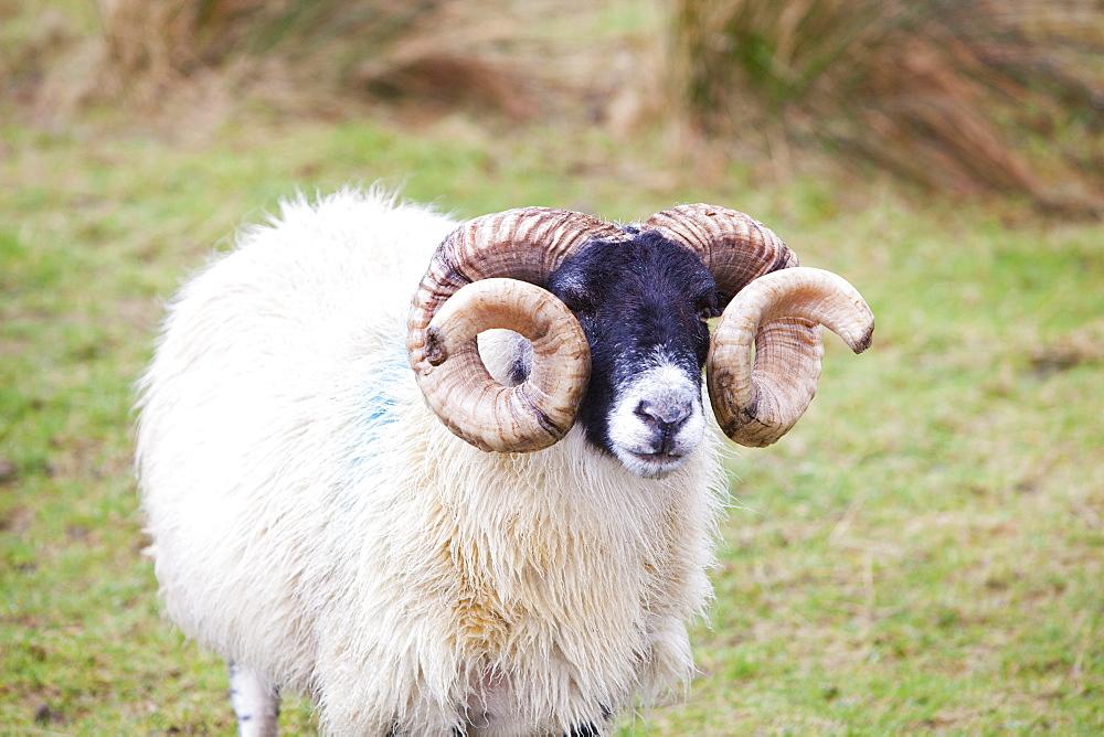 A ram on the Isle of Skye, Scotland, United Kingdom, Europe