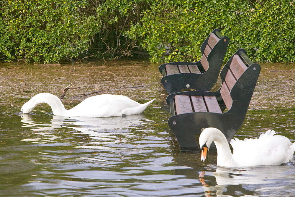 Mute swans swimming in flood waters from Lake Windermere overflowing in Ambleside, Cumbria, England, United Kingdom, Europe