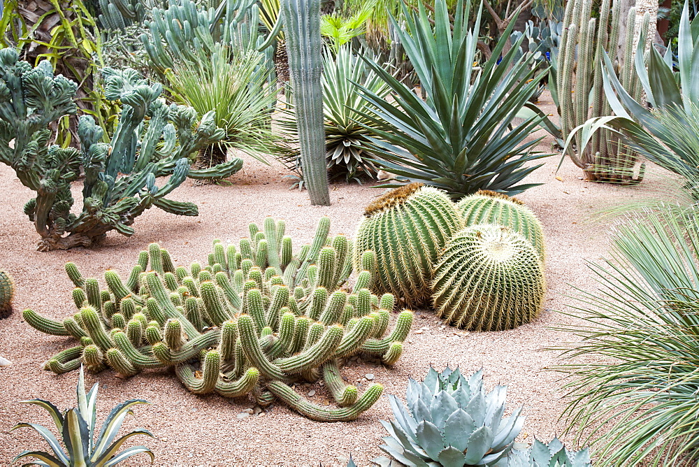 Cacti in the Marjorelle Gardens in Marrakech, Morocco, North Africa, Africa