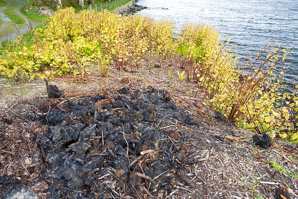 Attempts to control Japanese Knotweed, an alien invader, on the coast at Broadford, Isle of Skye, Scotland, United Kingdom, Europe