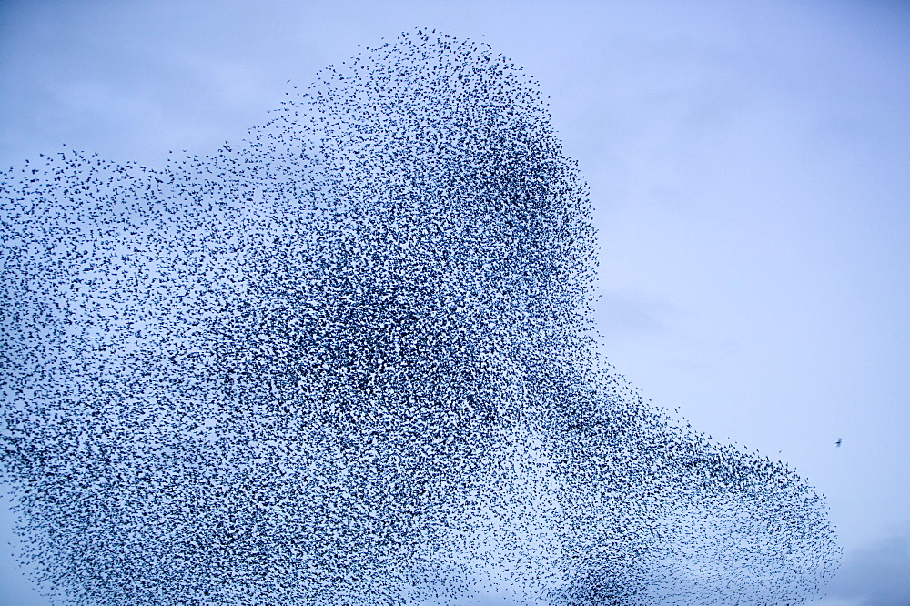 A sparrowhawk attacking starlings flying to roost near Kendal, Cumbria, England, United Kingdom, Europe