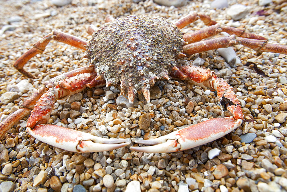 A spider crab on the beach at Charmouth, Dorset, England, United Kingdom, Europe