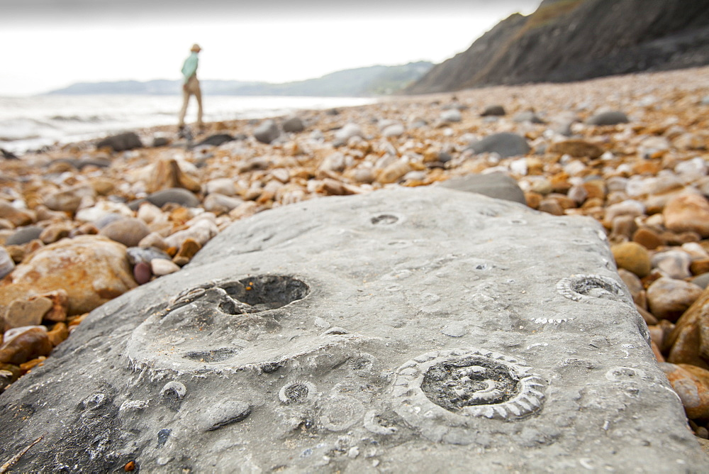 Ammonite fossils on the world famous Charmouth fossil beach, Jurassic Coast, UNESCO World Heritage Site, Dorset, England, United Kingdom, Europe