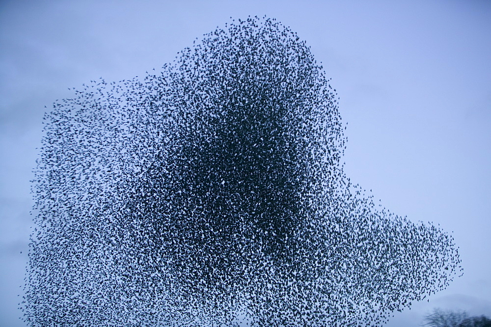 Starlings flying to roost near Kendal, Cumbria, England, United Kingdom, Europe