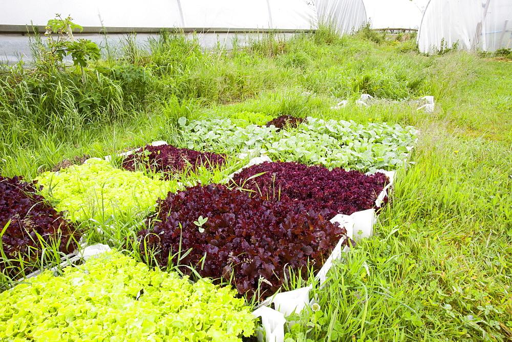 Vegetables growing in polytunnels at Washingpool farm in Bridport, Dorset, England, United Kingdom, Europe
