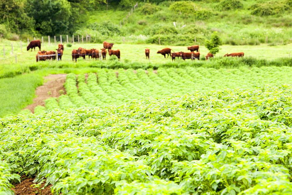 Potatoes growing at Washingpool farm, with North Devon beef cattle behind, Bridport, Dorset England, United Kingdom, Europe