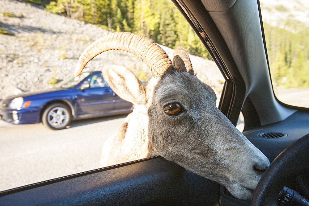 Female big horn sheep (Ovis canadensis) licking salts off a car in Jasper National Park, Rocky Mountains, Alberta, Canada, North America