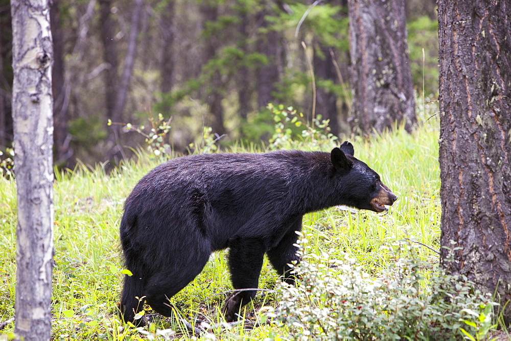 A black bear (Ursus americanus) in Banff National Park, UNESCO World Heritage Site, Alberta, Canada, North America