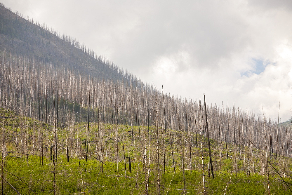 Boreal Forest burnt by the Mount Shanks wild fire in Kootenay National Park, UNESCO World Heritage Site, Alberta, Canadian, Rockies, Canada, North America