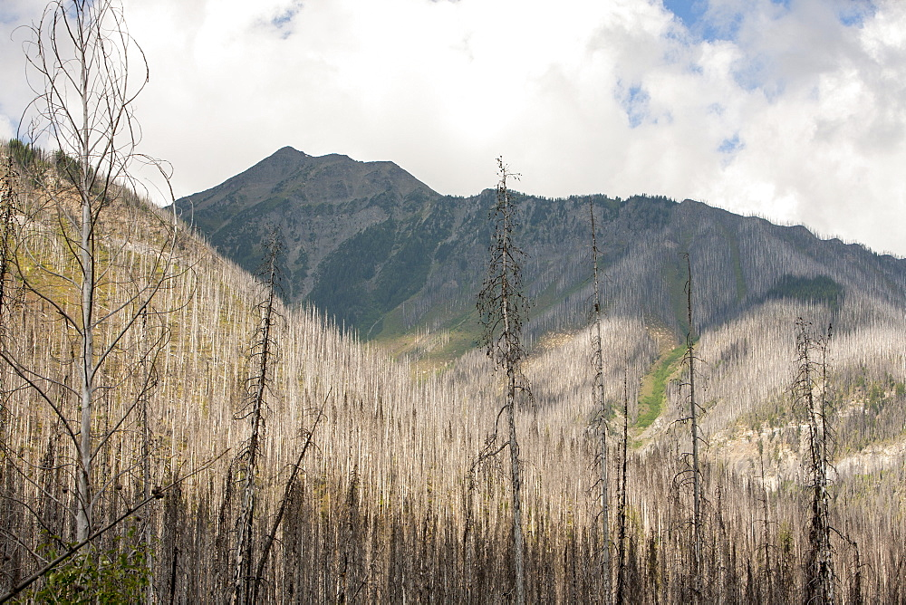 Boreal Forest burnt by the Mount Shanks wild fire in Kootenay National Park, UNESCO World Heritage Site, Alberta, Canadian Rockies, Canada, North America