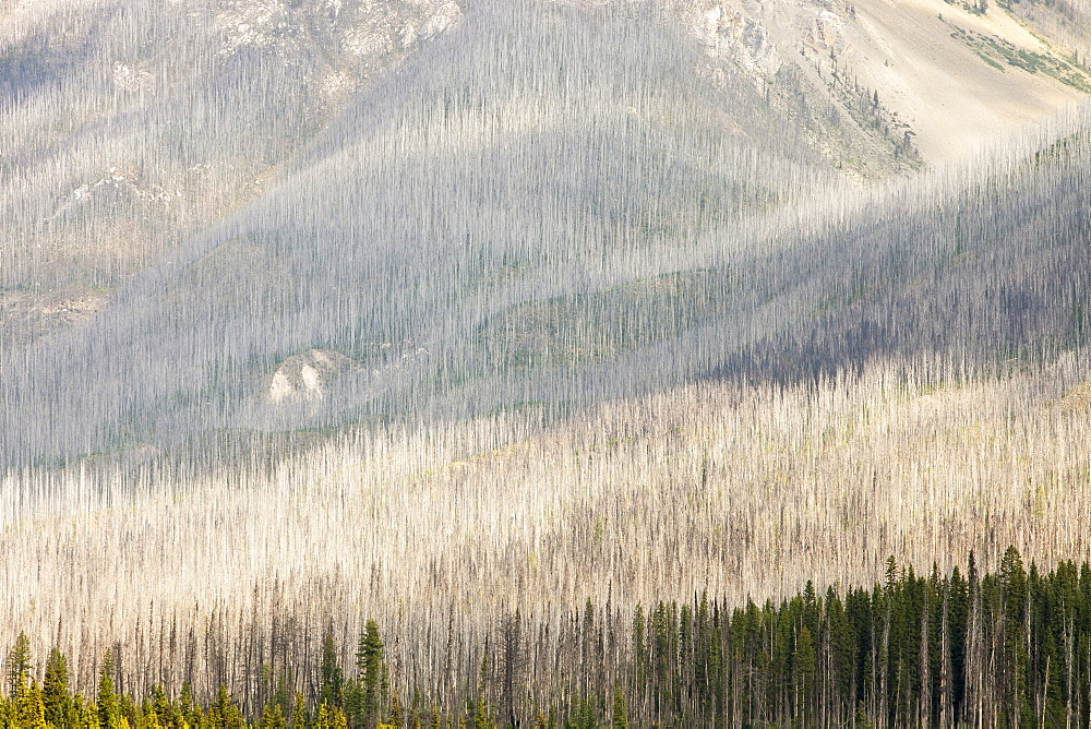 Boreal Forest burnt by the Mount Shanks wild fire in Kootenay National Park, UNESCO World Heritage Site, Alberta, Rocky Mountains, Canada, North America