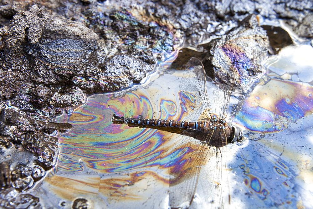 A dragonfly stuck in tar sand, Alberta, Canada, North America