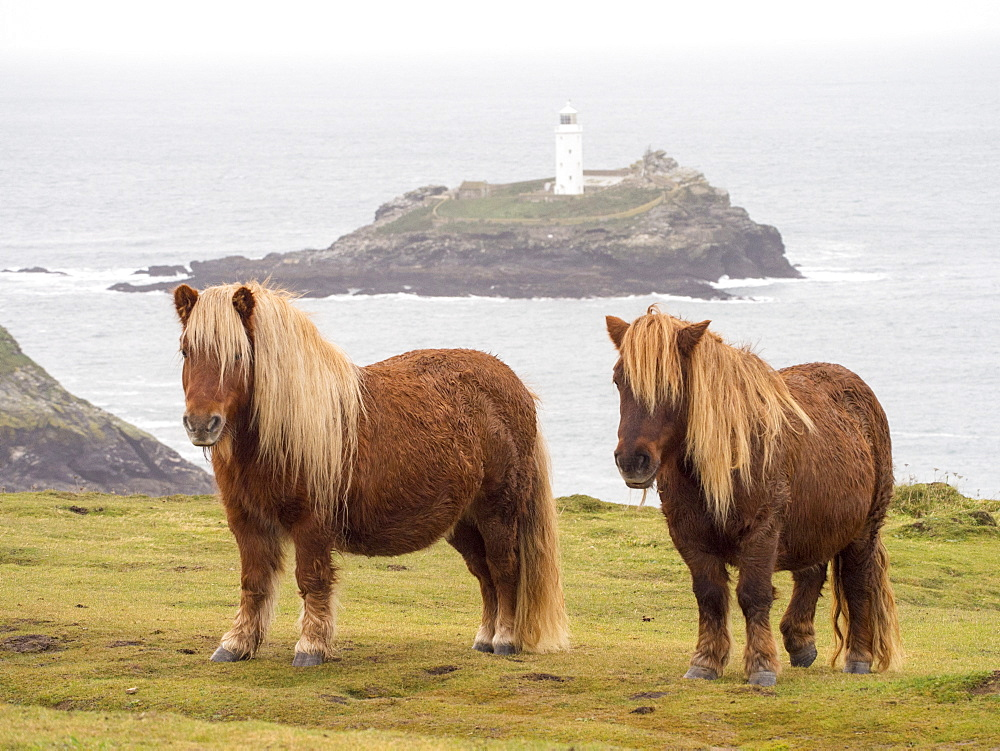 Shetland ponies being used for conservation grazing, Godrevy Island from Godrevy Point near St. Ives, Cornwall, England, United Kingdom, Europe