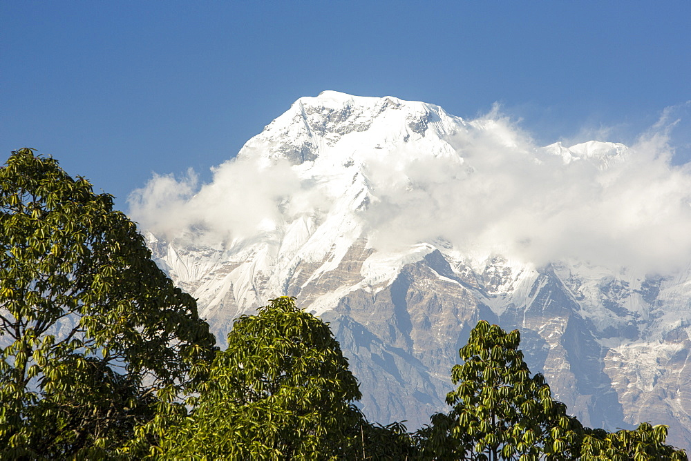 Annapurna south in the Annapurna Himalayas with a rhododendron forest in the foreground, Nepal, Asia