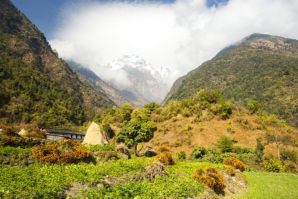 Potatoes on a subsistence farm in the Annapurna Himalayas in Nepal, Asia