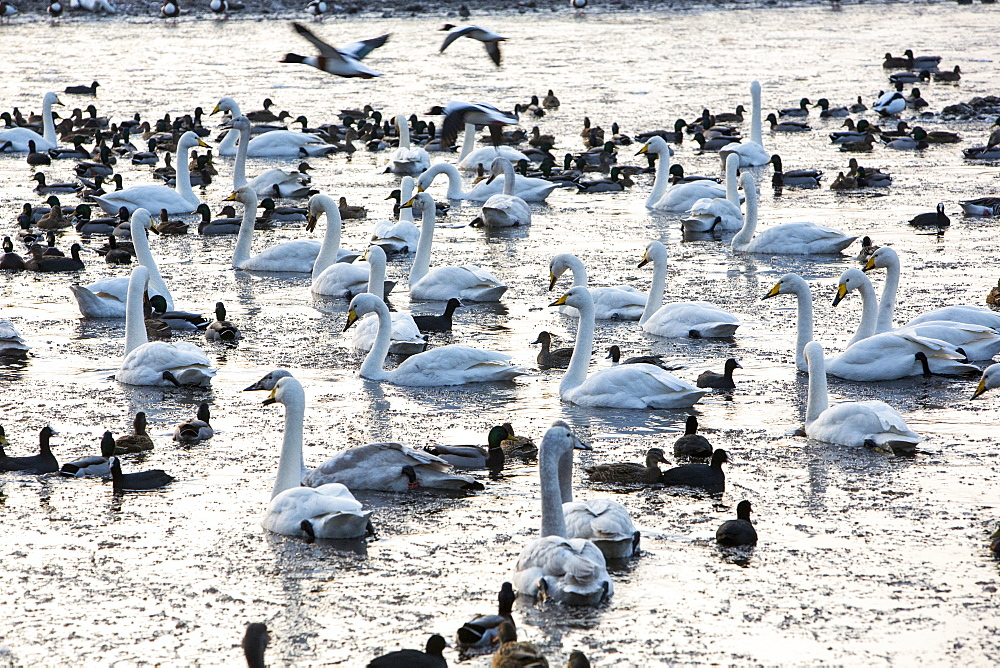 Whooper swans (Cygnus cygnus) and mixed duck flocks at Martin Mere, a Wildfowl and Wetlands Trust bird reserve near Southport, Lancashire, England, United Kingdom, Europe