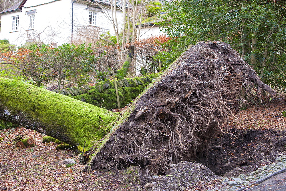 An old oak tree blown over by storm force winds in Rydal, Lake District, Cumbria, England, United Kingdom, Europe